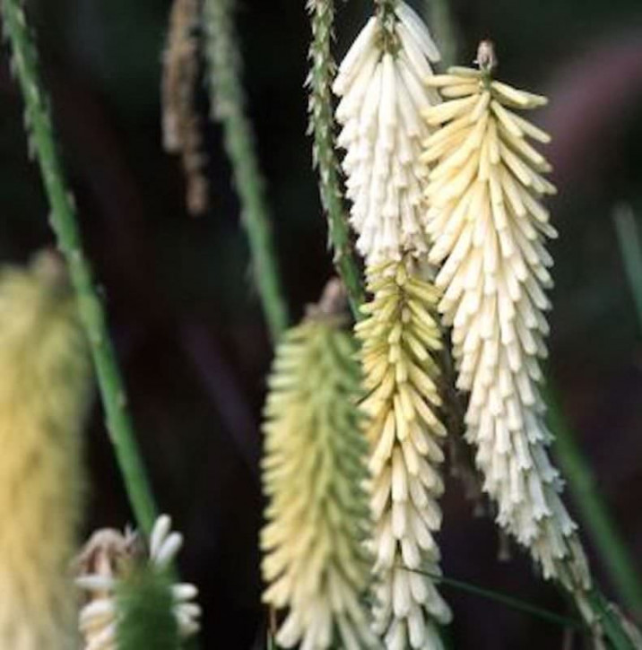 Fackellilie Ice Queen - Kniphofia uvaria