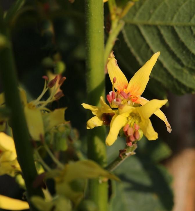 Goldblasenbaum Fastigiata 100-125cm - Koelreuteria paniculata