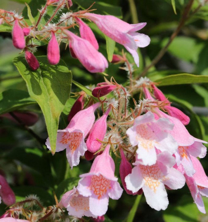 Perlmuttstrauch Pink Cloud 40-60cm - Kolkwitzia amabilis