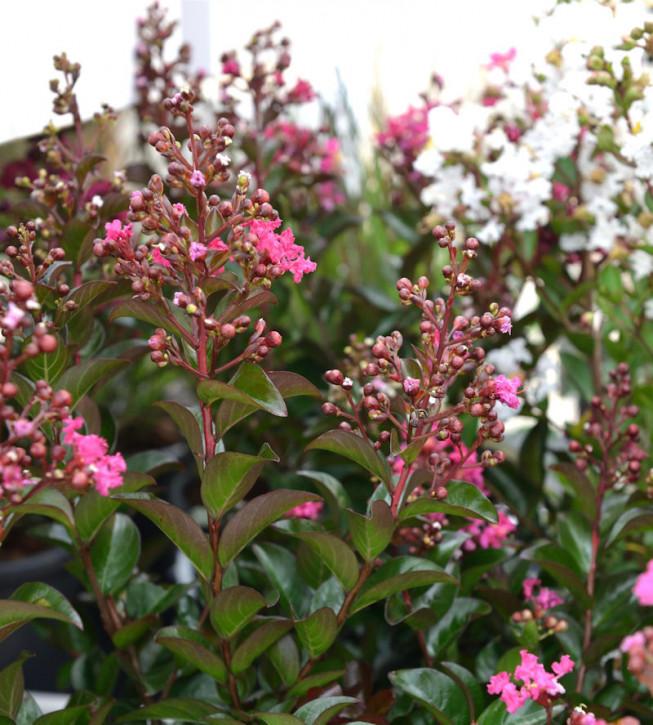 Chinesische Kräuselmyrte Petite Pink Monkie 20-30cm - Lagerstroemia indica