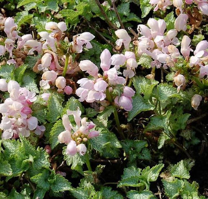 Waldnessel Shell Pink - Lamium maculatum