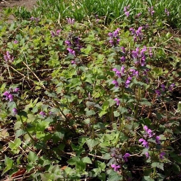 Waldnessel - Lamium maculatum