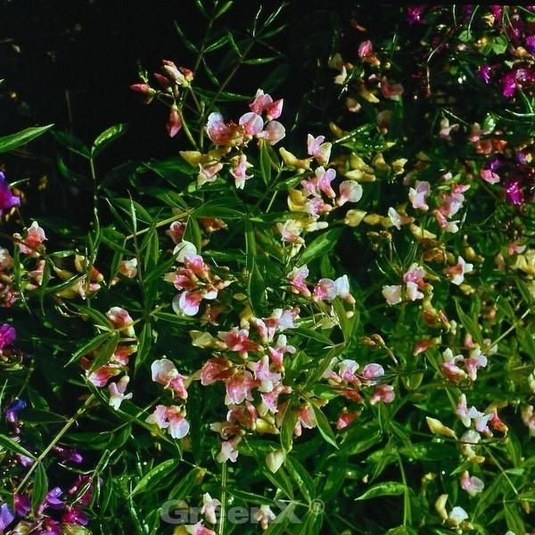 Wald Wicke Roseus - Lathyrus vernus