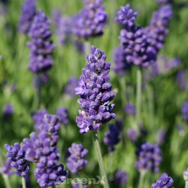 Echter Lavendel Arabian Nights - Lavandula angustifolia