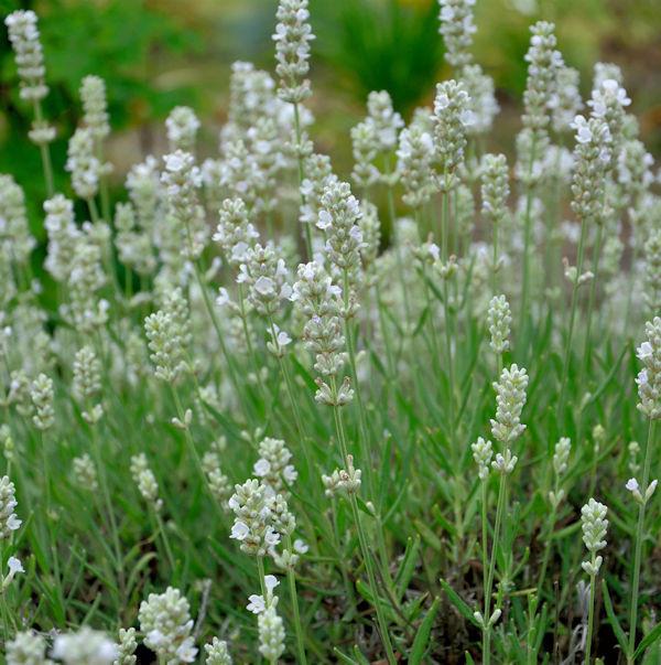Echter Lavendel Blue Mountain White - Lavandula angustifolia