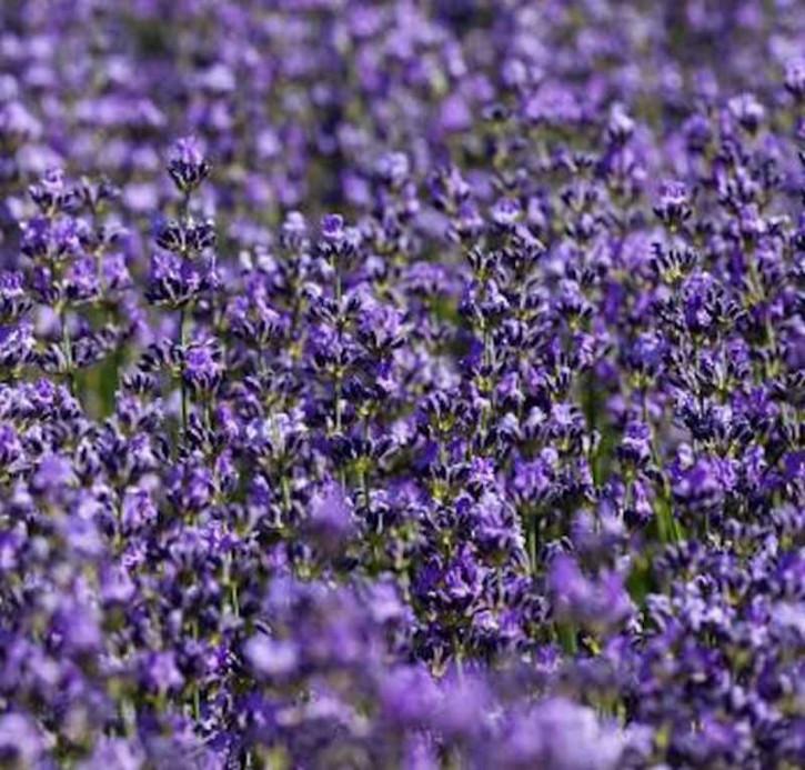 Echter Lavendel Silver Carpet - Lavandula angustifolia