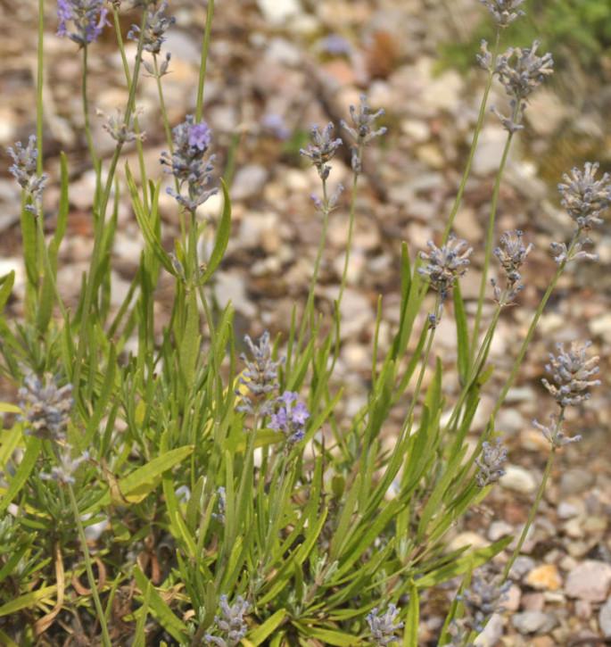 Echter Lavendel Twickle Purple - Lavandula angustifolia