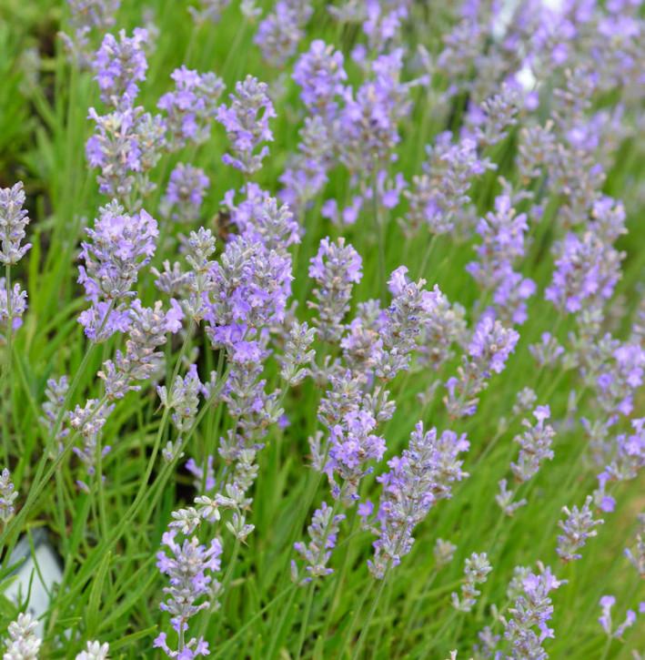 Echter Lavendel Little Lady - Lavandula angustifolia