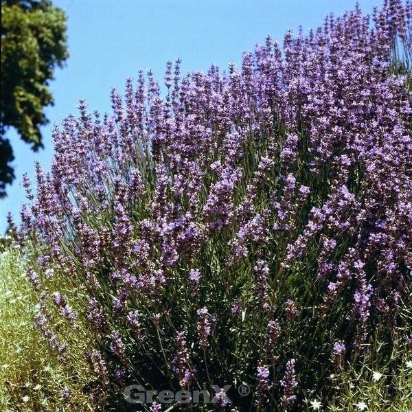 Lavendel Dutch - Lavandula intermedia