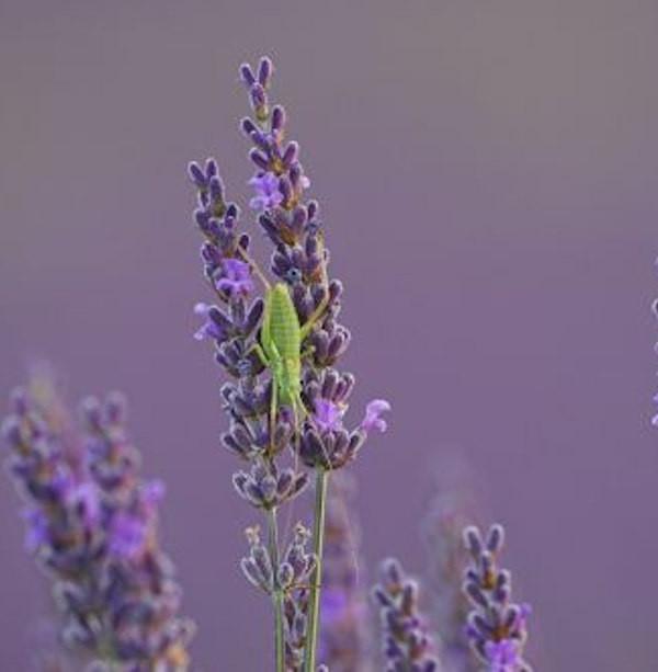 Lavendel Essence Purple - Lavandula intermedia