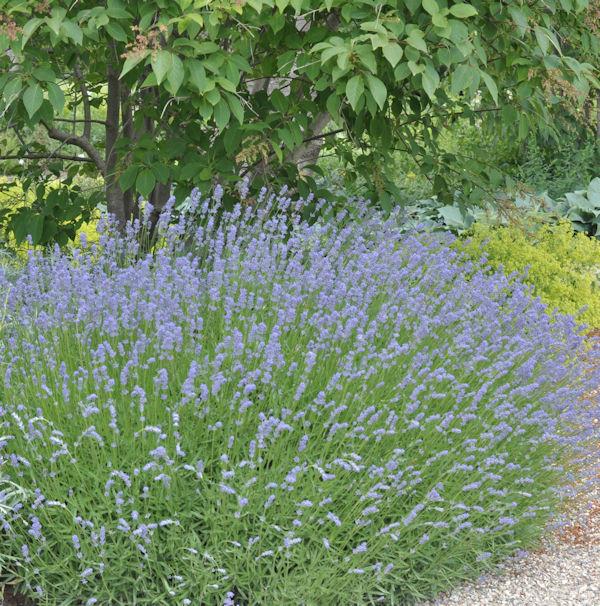 Lavendel Grappenhall - Lavandula intermedia