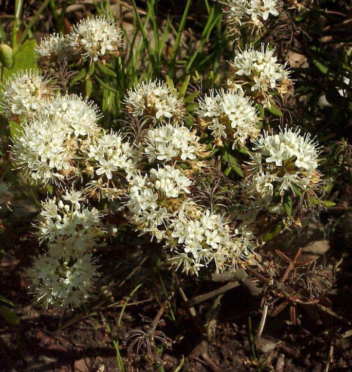 Dichter Labrador Porst 70-80cm - Ledum groenlandicum