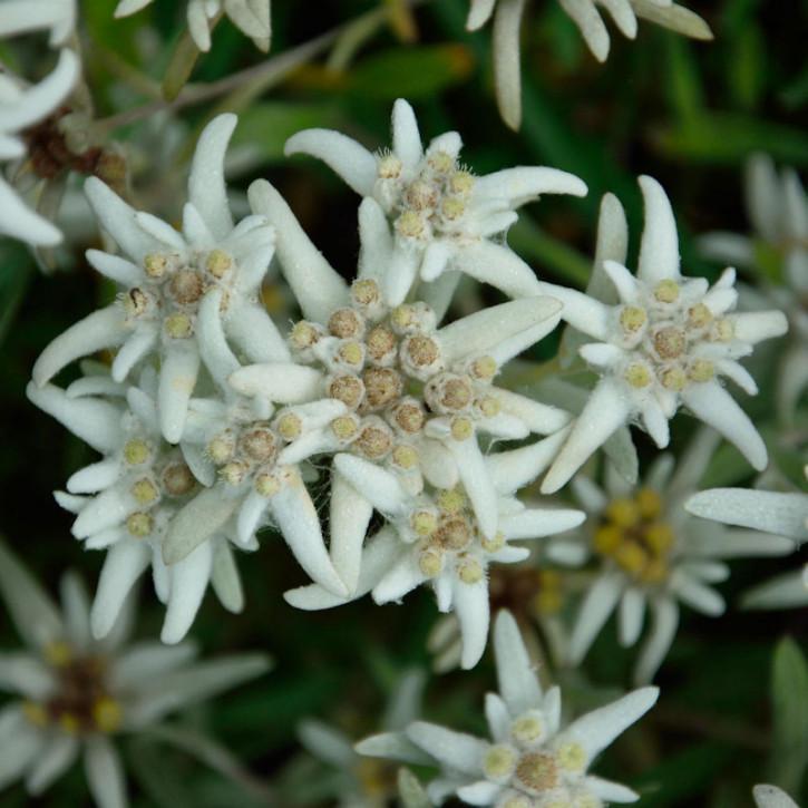 Edelweiß - Leontopodium alpinum