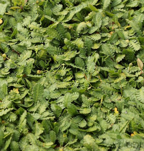 Fiederpolster - Leptinella dioica