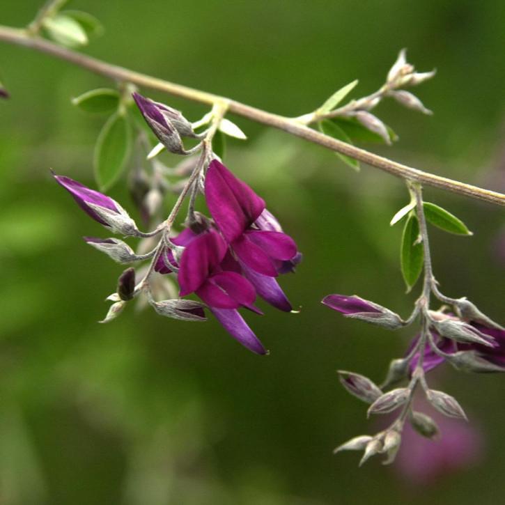 Zweifarbiger Buschklee Summer Beauty 30-40cm - Lespedeza bicolor