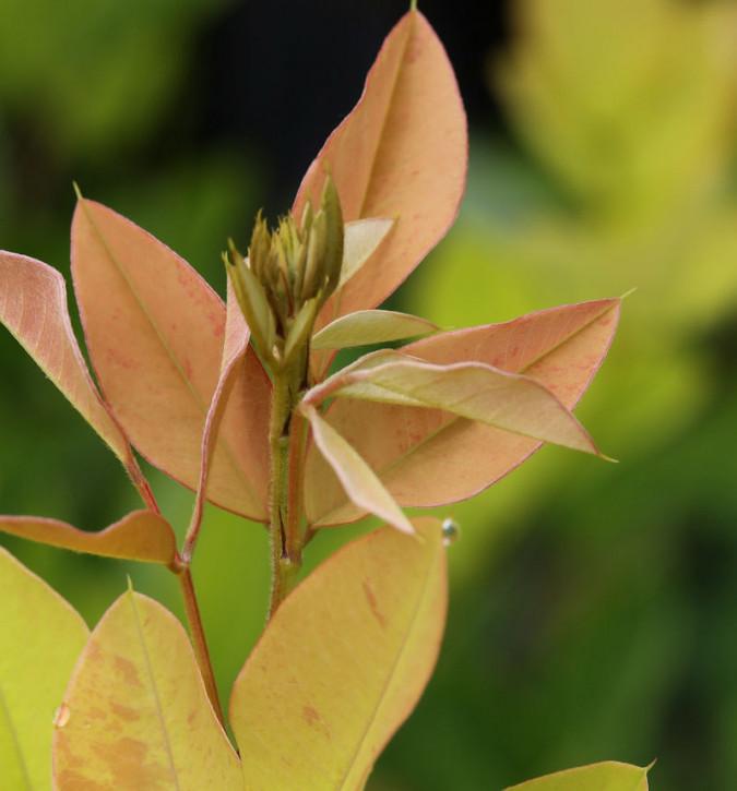 Buschklee Ebo Shibori 60-80cm - Lespedeza thunbergii