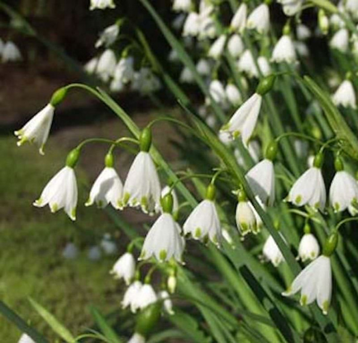 Sommer Knotenblume - Leucojum aestivum