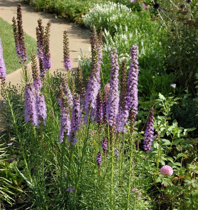 Prachtscharte Floristan Violett - Liatris spicata