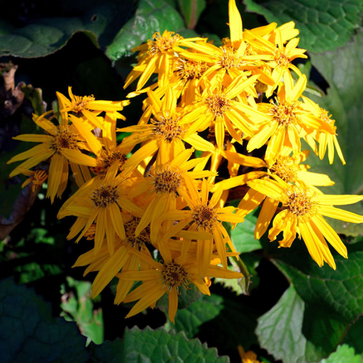 Purpur Greiskraut - Ligularia dentata