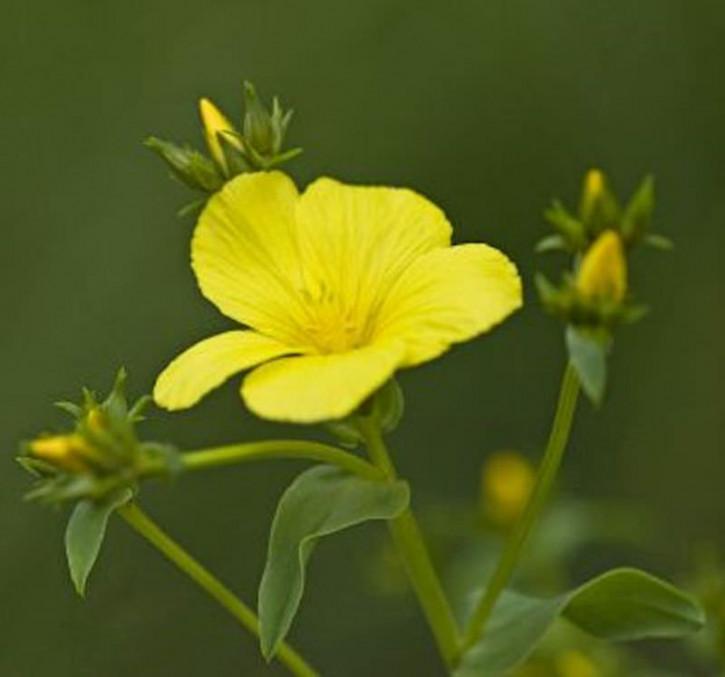 Goldflachs - Linum flavum