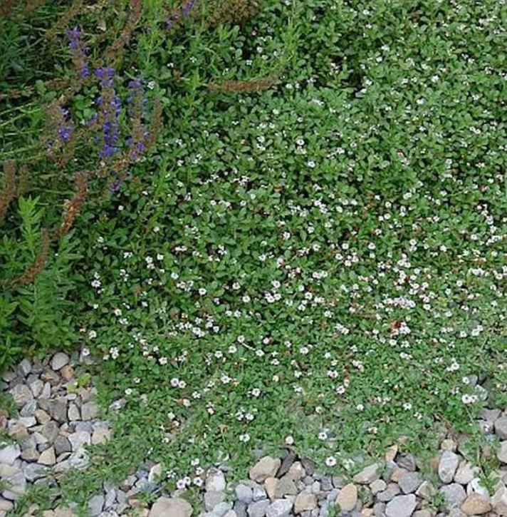 Teppich Verbene - Lippia nodiflora