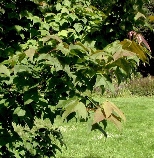 Taiwanesischer Amberbaum Ellen 100-125cm - Liquidambar formosana
