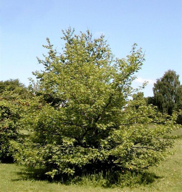 Gelblaubiger Amberbaum 100-125cm - Liquidambar styraciflua Aurea