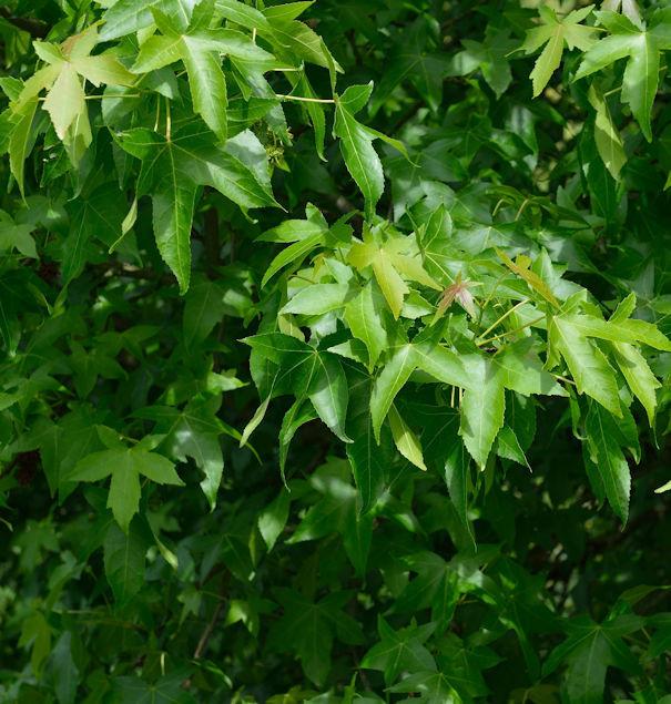 Säulen Amberbaum Slender Silhouette 60-80cm - Liquidambar styraciflua