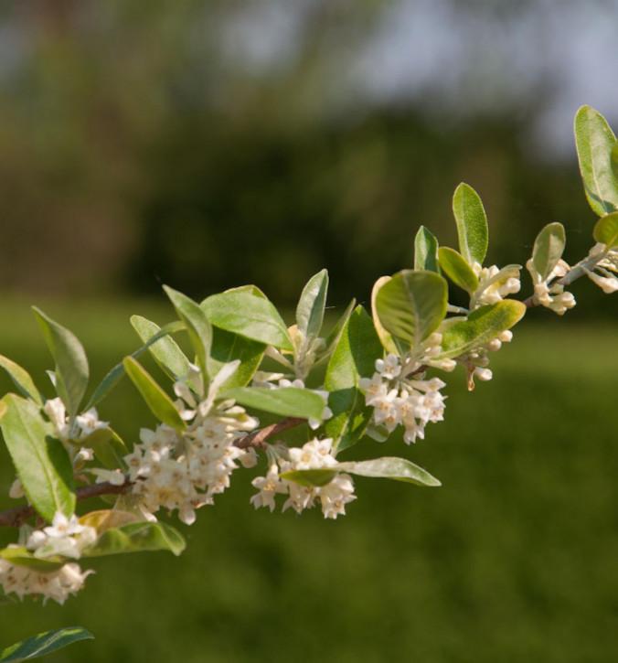 Honigbeere MyBerry® Sweet 25-30cm - Lonicera kamtschatica