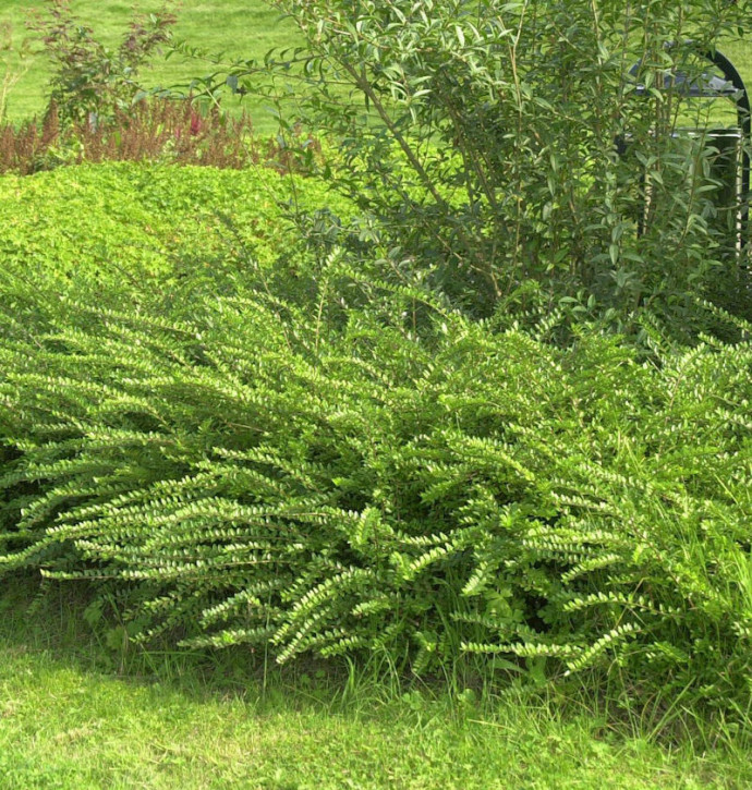 10x Böschungsmyrte Moss Green 10-15cm - Lonicera nitida