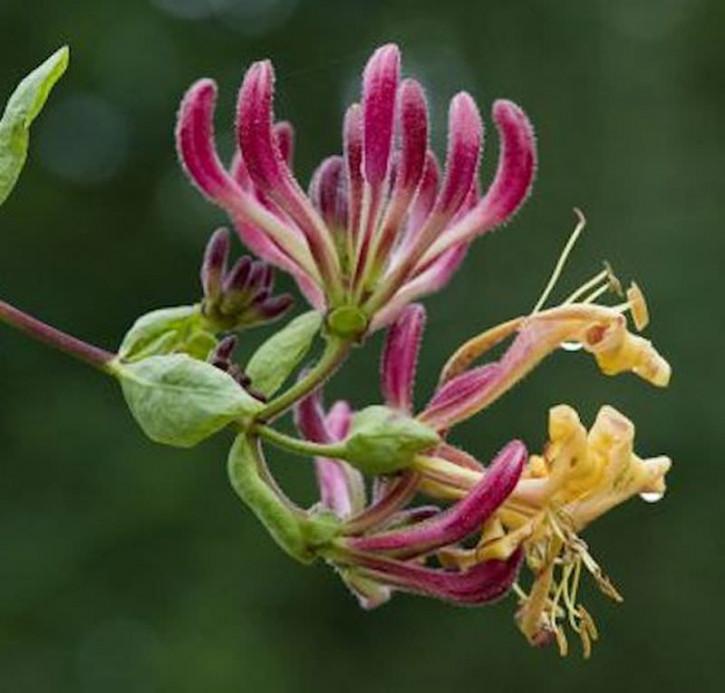 Waldgeisblatt Serotina 60-80cm - Lonicera periclymenum