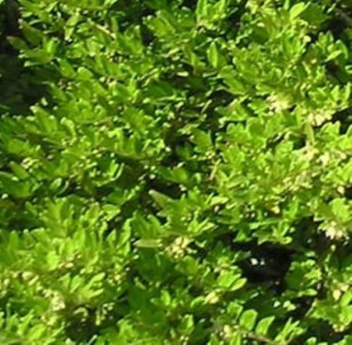 10x Heckenmyrte Böschungsmyrte 10-15cm - Lonicera nitida