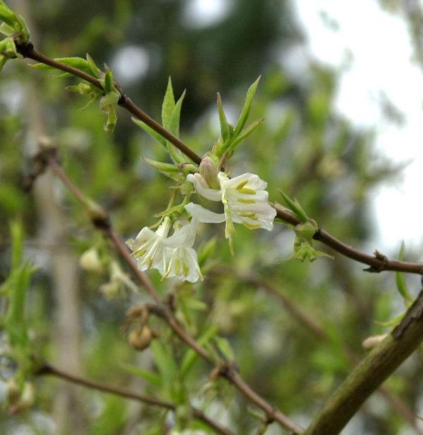Winter Heckenkirsche Winter Beauty 100-125cm - Lonicera purpusii