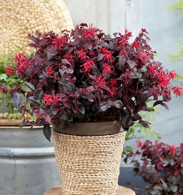 Riemenblüte Black Pearl 40-60cm - Loropetalum chinense