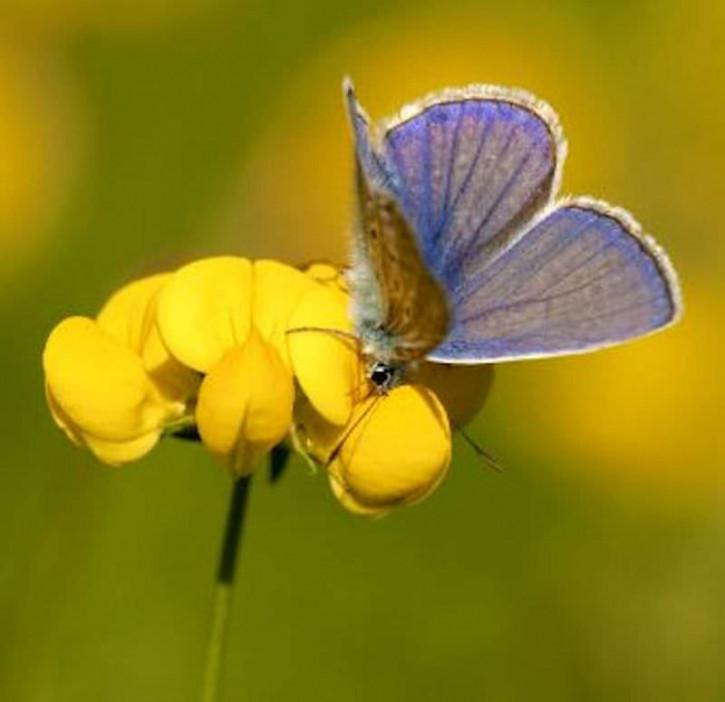 Gefüllter Hornklee - Lotus corniculatus