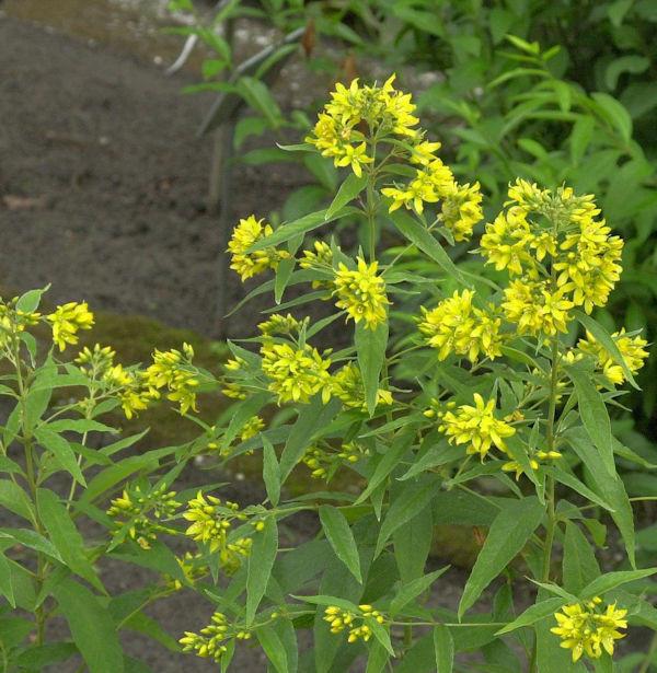 Gilbweiderich - Lysimachia vulgaris