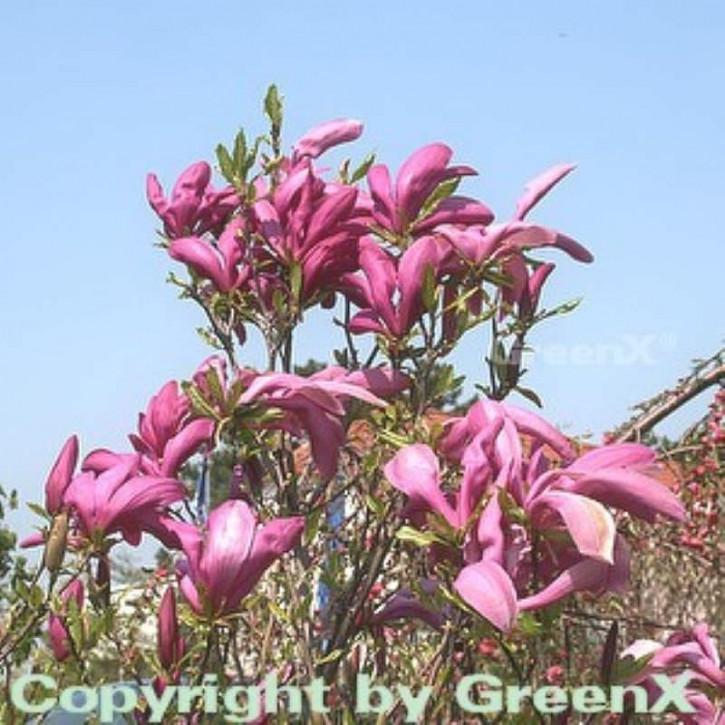 magnolien kaufen im pflanzenshop von nr. Black Bedroom Furniture Sets. Home Design Ideas
