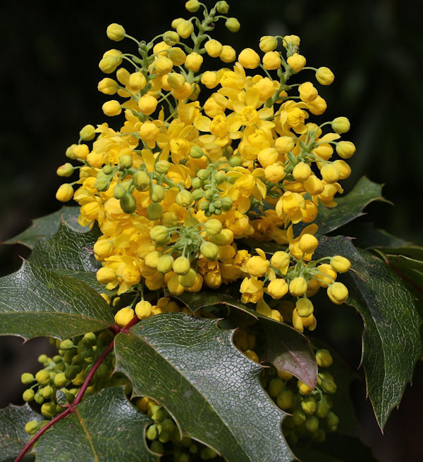 Zwerg Mahonie Apollo 20-25cm - Mahonia aquifolium