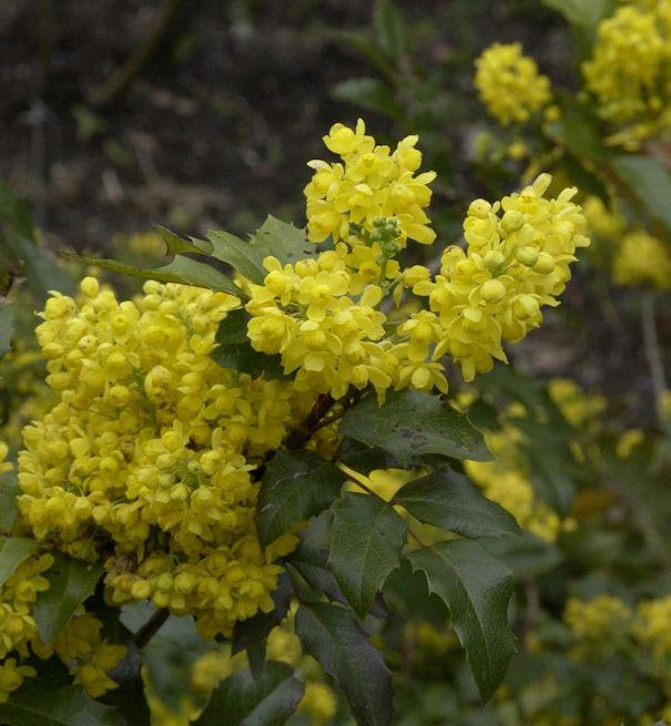 Mahonie 20-30cm - Mahonia aquifolium