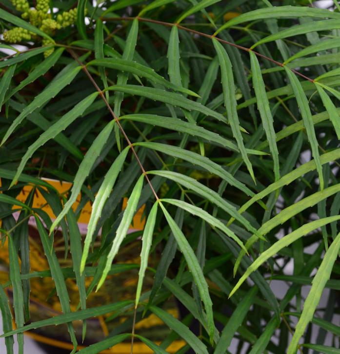 Chinesische Mahonie Soft Caress 30-40cm - Mahonia eurybracteata