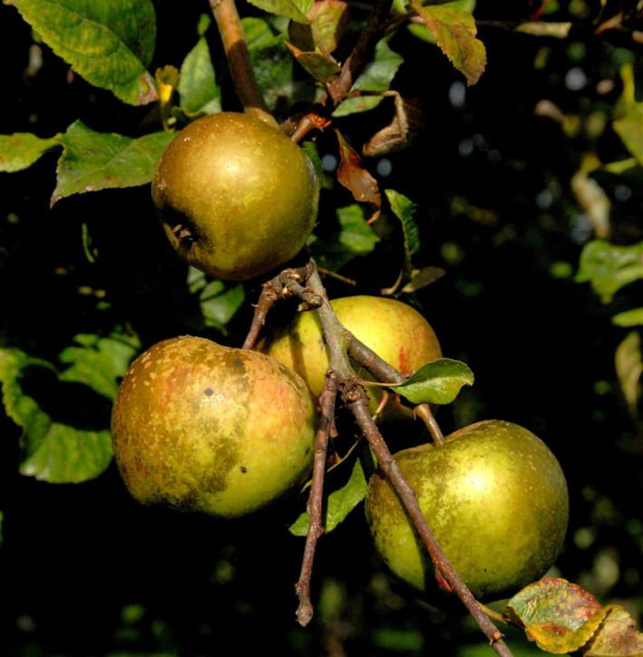 Apfelbaum Altländer Pfannkuchenapfel 60-80cm - süßsäuerlich