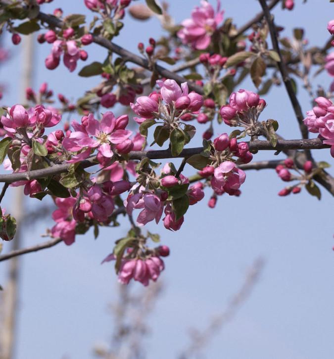 Hochstamm Zierapfel Dark Rosaleen 80-100cm - Malus Hybride
