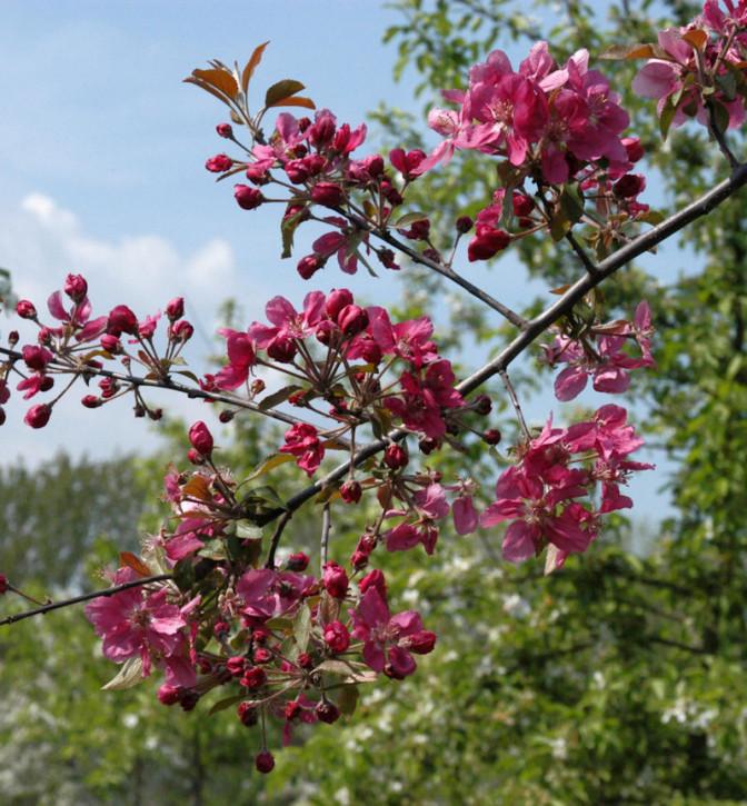 Zierapfel Scarlet 100-125cm - Malus Hybride