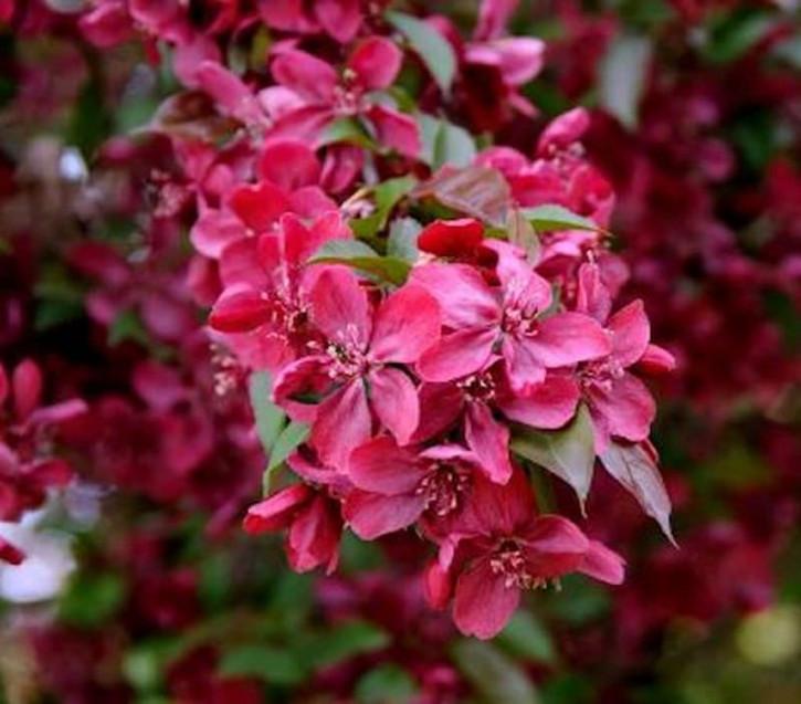 Hochstamm Zier Apfelbaum Royalty 100-125cm - Malus Royalty