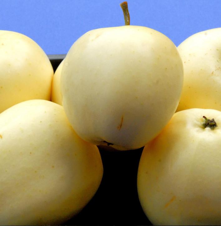 Apfelbaum Weißer Klarapfel 60-80cm - knackig und säuerlich