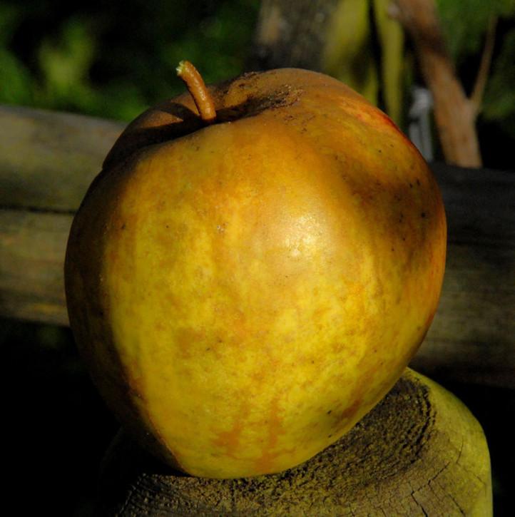 Apfelbaum Haferapfel 60-80cm - großzellig und feinwürzig