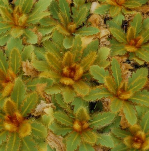 Himalaya Scheinmohn - Meconopsis paniculata