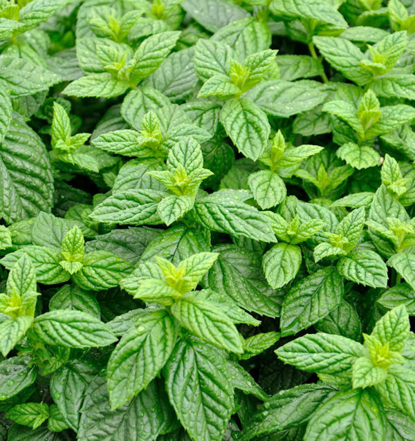 Grüne Minze - Mentha spicata