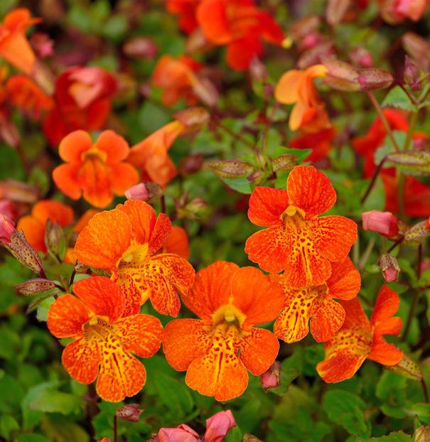 Gauklerblume Highland Orange - Mimulus luteus