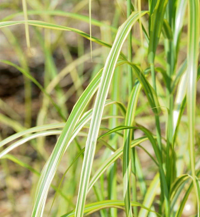Chinaschilf Gutenberg Gold - XXXL Topf - Miscanthus sinensis